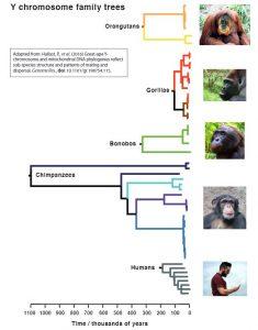 Ancient chimpanzee 'Adam'-GeologyPage