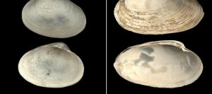 Clams help date duration-GeologyPage