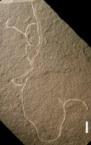 Ancient seaweed fossils some-GeologyPage