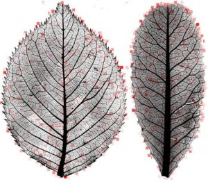 Leaf mysteries revealed-GeologyPage