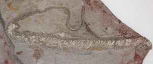 A fossilized snake shows its-GeologyPage