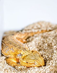 Do bearded dragons dream-GeologyPage