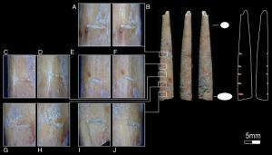 Bone artifacts suggest early -GeologyPage