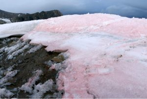 Cosmopolitan snow algae-GeologyPage