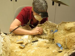 In this Saturday, May 21, 2016 photo, Anne Teppo works on a dinosaur fossil in the Museum of the Rockies in Bozeman, Mont. The museum has collected approximately 35,000 specimens over the 34 years that Jack Horner has led it. Horner retires from the museum this summer as one of the most famous paleontologists in the world. (AP Photo/Matt Volz)