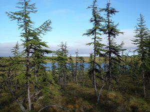 Siberian larch forests are-GeologyPage