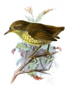 NZ wren DNA analysis-GeologyPage