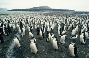 Penguin colonies at risk-GeologyPage