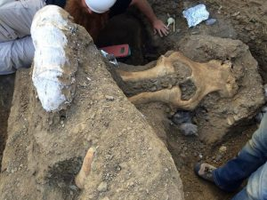 Rare mammoth fossil excavated at Channel Islands National Park. Credit: NPS