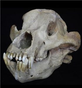 Skull of an extinct cave bear, Ursus spelaeus, from the Pleistocene [locality unknown]. Credit: © Collection of Senckenberg Research Institute and Natural History Museum, Frankfurt, Germany (collection number SMF M 8047), photo: Sven Tränkner