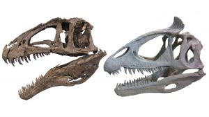 Theropod dinosaur skulls showing unornamented (Acrocanthosaurus NCMS 14345, left) and ornamented (Cryolophosaurus FMNH PR 1821, right) styles. Credit: Cryolophosaurus photo courtesy of Dr. Peter Makovicky, Acrocanthosaurus photo by Christophe Hendrickx
