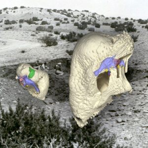 The preserved remains of Triopticus (left) show the evolution of a thickened domed skull in the Triassic Period, 150 million years before the evolution of the famous dome-headed pachycephalosaur dinosaurs, such as Stegoceras (right). The background image shows the field site in Texas where Works Progress Administration crews in 1940 found the curious fossils of Triopticus. Credit: Virginia Tech