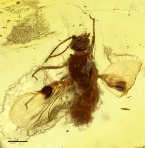 """The biting midge is encased in amber: The """"pockets"""", which presumably served as pheromone evaporators, can be seen as dark dots on the wings. Credit: Frauke Stebner/Steinmann Institute, Uni Bonn"""