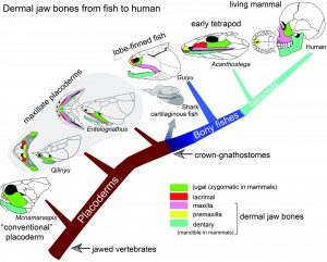 Diagram showing the dermal jaw bones from fish to human. Credit: Brian Choo and Min Zhu