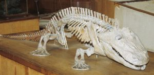 The skeleton of Eryops, one of the earliest land-walking tetrapods. Credit: Christine M. Janis