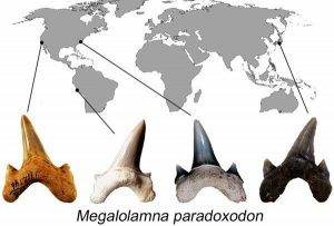 The new shark species named 'paradoxodon,' or paradoxical teeth, comes from the fact that the shark appears to have emerged suddenly in the geologic record with a yet unresolved nearly 45-million-year gap from when Megalolamna possibly split from its closest relative Otodus. The international research team who based their discovery on fossilized teeth up to 4.5 centimeters (1.8 inches) tall found the teeth in California and North Carolina, Peru and Japan. Credit: Kenshu Shimada/DePaul University