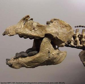 The skull of a placodont - Placodus gigas - clearly showing upper and lower teeth well suited to crushing the shells of creatures that were a primary source of food. Credit: New Jersey Institute of Technology