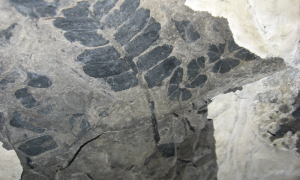Scientists used fossilized plants, like this seed fern, to reconstruct the ancient atmospheric CO2 record from more than 300 million years ago. Credit: William DiMichele/Smithsonian Institution