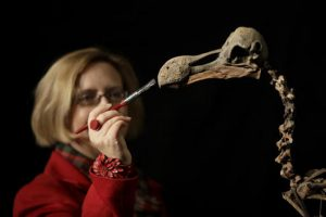 "A staff member holds a brush as she poses for photographs with a Dodo skeleton, Raphus cucullatus, from Mauritius at Summers Place Auctions in Billingshurst, southern England, Thursday, Nov. 17, 2016. The skeleton from the species extinct since the 17th century is the first to come up for sale in 100 years and is estimated to fetch upto 500,000 pounds ($624,445 or 581,546 euro) in the ""Evolution"" sale on November 22. Credit: AP Photo/Matt Dunham"