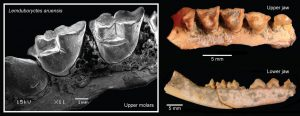 In a new paper, published in Scientific Reports, an international team of researchers has analyzed fossils and DNA from living and recently extinct species to show that conservation sensitive Australasian marsupials are much older than previously thought. Credit: Ken Aplin