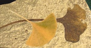 The ginkgo tree's emblematic fan-shaped leaf preserved as a 49 million year old fossil with modern autumn leaf overlay. Credit: Fossil is from Klondike Mountain Formation, Republic, Ferry County, Washington, USA, Eocene, Ypresian. Stonerose Interpretive Center Collection, Modern leaf photo is by Ninjatacoshell, CC BY-SA via Wikimedia Commons