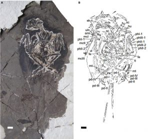 FIG. 1.Ventral view of the new bohaiornithid specimen (CUGB P1202, primary slab). A, photograph of the primary slab. B, inter-pretive drawing.Abbreviations: co, coracoid; cv, cervical vertebrae; fe, femur; fu, furcula; hu, humerus; il, ilium; mcI–III, metacarpalsI–III; mt, metatarsals; pd I–IV, pedal digits I–IV; phI-1, first phalanx of digit I; phII/III-1/2, first/second phalanx of digit II/III; pu,pubis; py, pygostyle; ra, radius; sc, scapula; sk, skull; sml, semilunate carpal; st, sternum; sy, synsacrum; th, thoracic vertebrae; ti, tibia;ul, ulna; uln, ulnare. Scale bar represents 1 cm. Colour online