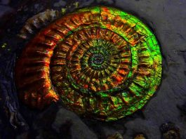 Opalized Ammonite