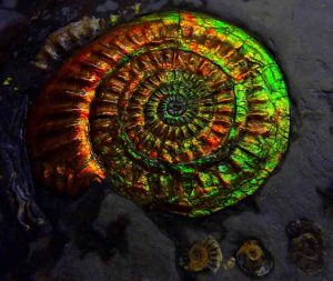 Opalized Ammonite