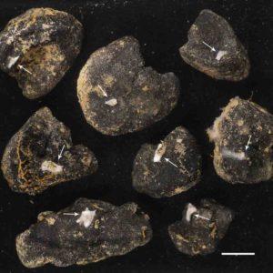 These are polymetallic nodules with Plenaster craigi. White line is 1 cm.