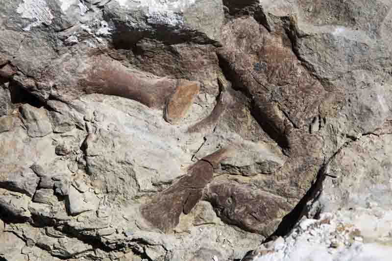 Toe bones, the upper jaw and snout of the fossilized remains of a tyrannosaur skeleton