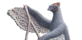 Depiction of Anchiornis and its contour feather.