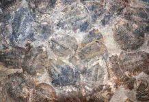Trilobite, Ordovician fossils