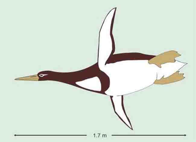ancient giant penguin Kumimanu biceae