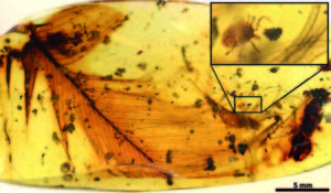 Hard tick grasping a dinosaur feather preserved in 99 million-year-old Burmese amber.