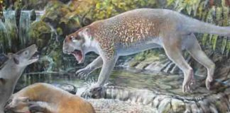 Reconstruction of Wakaleo schouteni