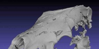 Digital reconstruction of the Canadian Arctic fossil bear