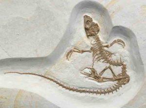 Vadasaurus herzogi fossil.