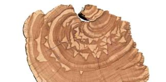 By analyzing centuries-old growth rings from trees in the Intermountain West, researchers at USU are extracting data about monthly streamflow trends from periods long before the early 1900s when recorded observations began.
