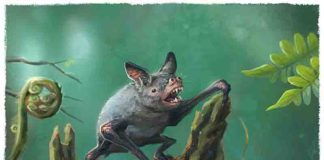 An artist's impression of a New Zealand burrowing bat, Mystacina robusta, that went extinct last century.