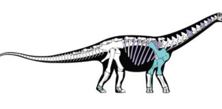 Skeletal reconstruction of the new titanosaurian dinosaur Mansourasaurus shahinae from the Late Cretaceous of the Dakhla Oasis, Egypt.