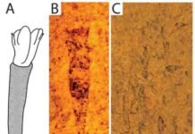 Hummelstown Fossils. A) Typical specimen reconstruction showing body mass (white) poking out of the 'spindle'-shaped cone (patterned). Note the presence of 'spikes' on the sides of the exposed body. B) Typical fossil specimen with body mass (with at least one spike) and 'spindle'-shaped cone. C) Surface of rock slab showing numerous Hummelstown fossils.