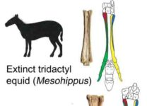 Silhouettes show Mesohippus primigenium, an early ancestor of the modern horse that lived 40 million years ago and was previously believed to have three toes, and the modern horse