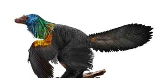 Caihong juji is a newly described, bird-like dinosaur with an iridescent, rainbow crest.