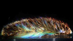 The spines of this sea mouse (Aphrodita sp.) are photonic