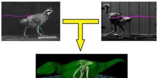 Ground-running bird model may predict bipedal dinosaur locomotion.