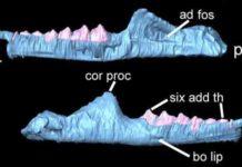Clevosaurus cambrica