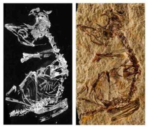 Tiny fossil of a prehistoric baby bird