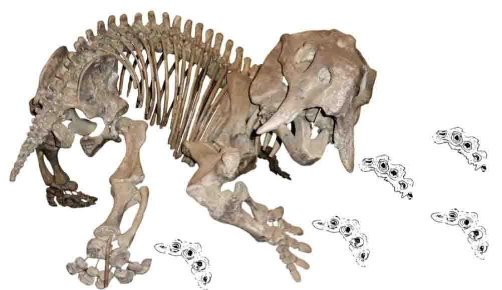 Skeleton of the dicynodont Placerias