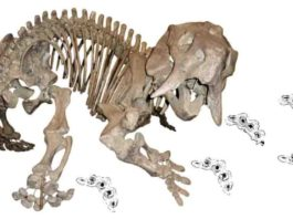 Skeleton of the dicynodont Placerias