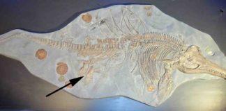 Ichthyosaur skeleton